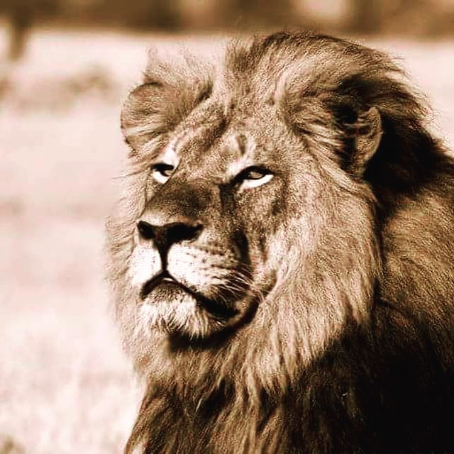 portrait of Cecil the Lion