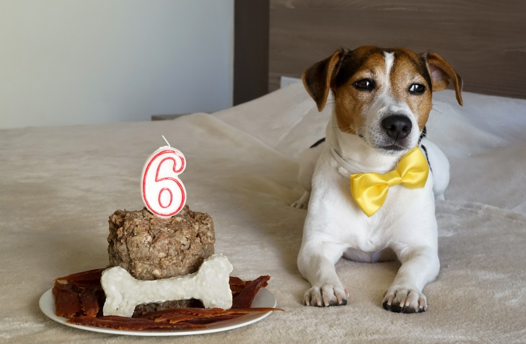 Dog lying with cake on his sixth birthday. Pet's treats.